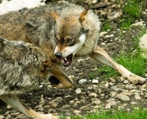 Combat de loups pour de la nourriture.