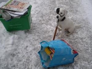 Malgré la patte tremblante à cause du froid, Saku a pris la pause - ASSIS le bon chien - le temps d'une photo d'un bac à 25 milles. À l'avant, un de mes deux sacs de recyclage débordant, après ma ronde, de millage Aéroplan.