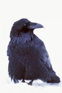 Ça, c'est un corbeau.