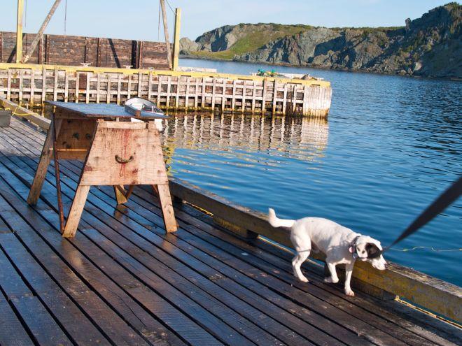 Saku flaire les odeurs sur le quai de Crow Head, Twillingate Island, Terre-Neuve